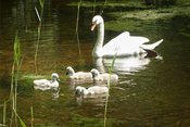 Mother swan watching her cygnets play