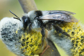 Andrena cineraria  on Salix caprea at Kanaalbermen , Bellem ( 2013/04/21)