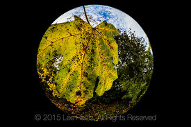 Fisheye Lens View of Bigleaf Maple Leaf in Autumn