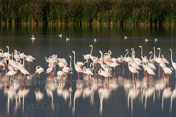 Greater flamingos (Phoenicopterus roseus) reflecting in wetlands, Strandfontein, South Africa