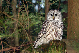 April - Barred Owl