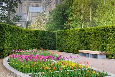 Colourful display of lily flowered tulips including orange 'Ballerina', magenta 'Purple Dream', yellow 'West Point' and red '...
