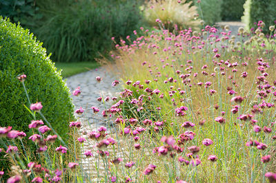 The Courtyard Garden designed by Piet Oudolf and John Coke features a dome of clipped box surrounded by a bed of grasses mixed with pink Dianthus carthusianorum. Bury Court Barn, Bentley, Hants, UK
