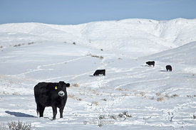 Beef cattle grazing at Big Horn Basin in Worland, Wyoming.