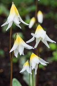 Erythronium helenae. Greencombe, Porlock, Somerset, UK.