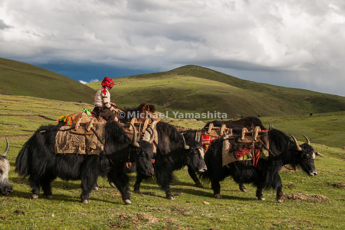 Yaks are indispensible to the Tibetan Nomads, providing warmth and sustenance. Ideally adapted to the high altitudes and cold...