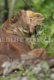 galapagos_land_iguana_turned-1