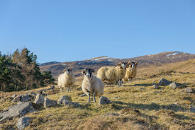 A small group of sheep on a hillside in Perthshire, Scotland.