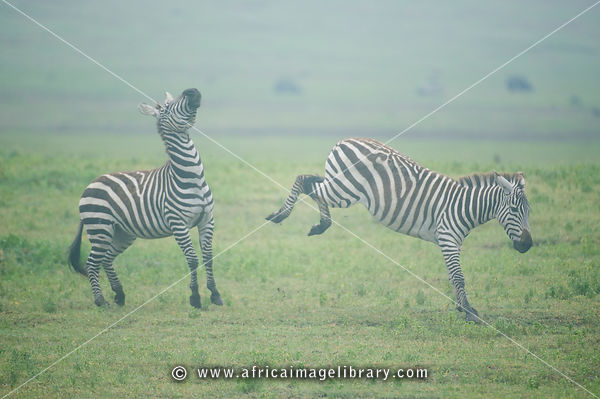 Burchell's zebras fighting (Equus burchellii), Ngorongoro Crater, Tanzania