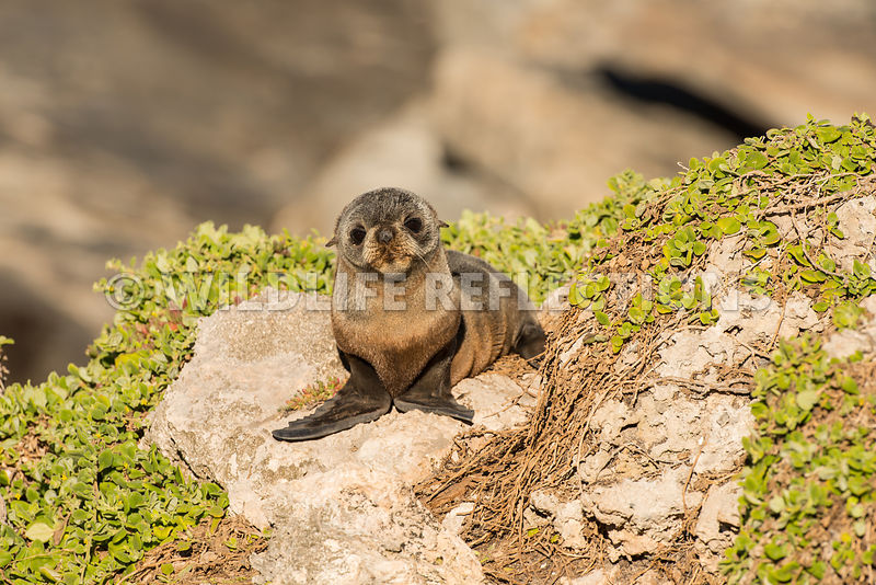 new_zealand_fur_seal_pup_shore-10