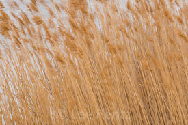 Phragmites Grass in Nebraska