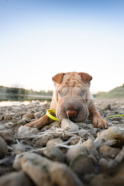 wrinkled tan sharpei staring from stoney beach