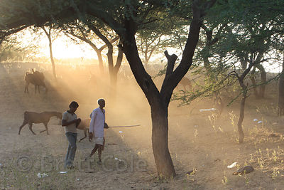 Goat herders tend their goats in desert woodlands at sunset, Pushkar, Rajasthan, India