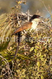coucal_vertical_4