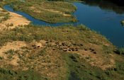 Herd of buffalo (Syncerus caffer), Lower Zambezi National Park, Zambia