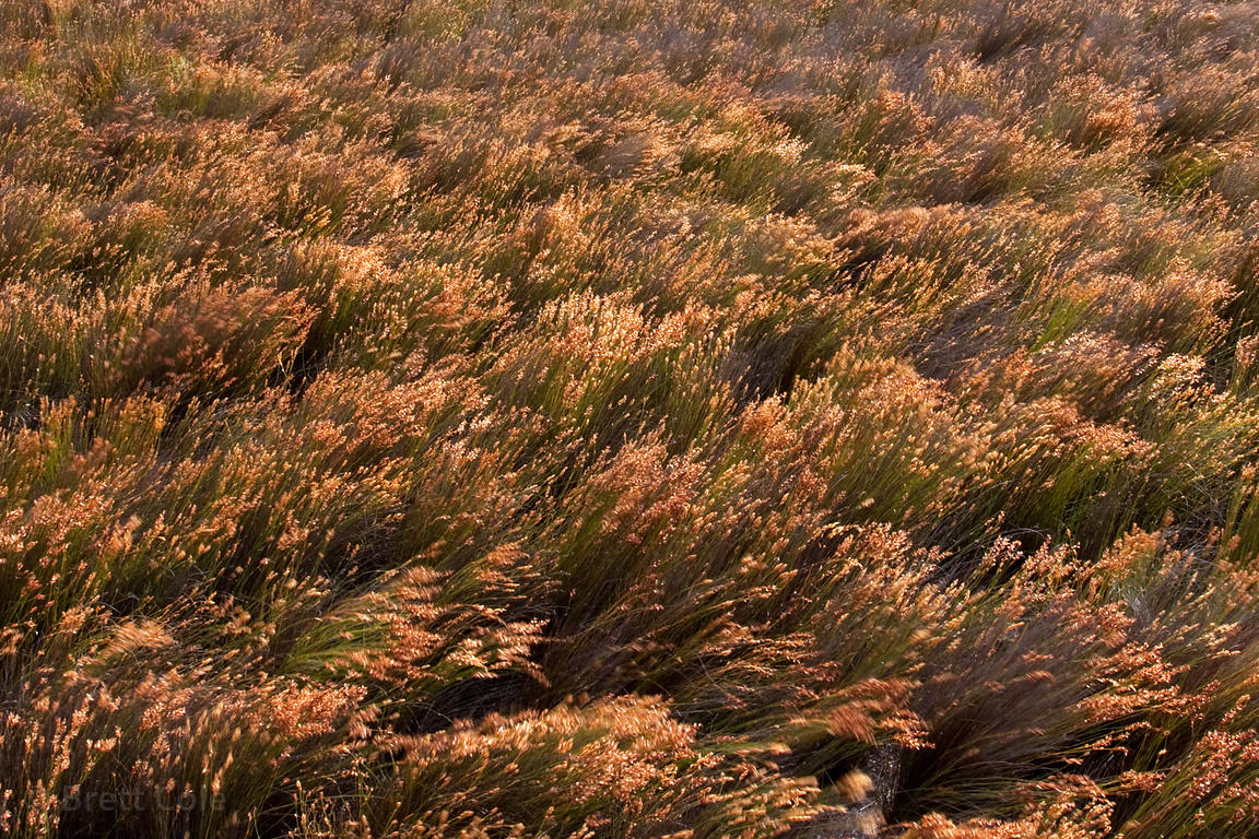 Grasses in fynbos, Patry's Valley, Cape Peninsula, South Africa