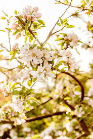 Apple blossoms 10