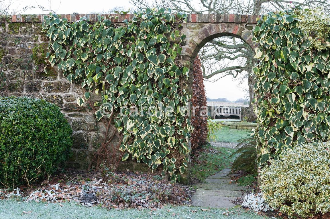 Entrance through brick wall to back garden framed by Hedera colchica 'Dentata Variegata'.