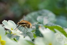 Bombylius major - large bee-fly: