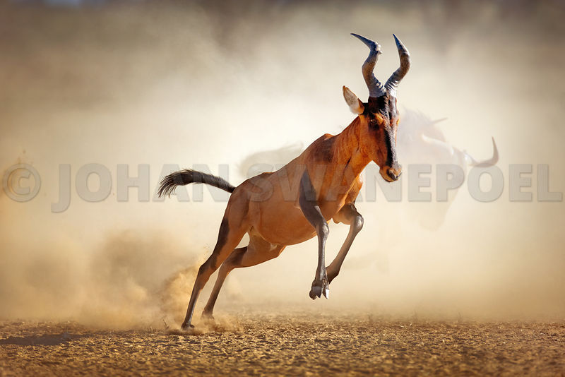 Red hartebeest running and jumping in dust cloud