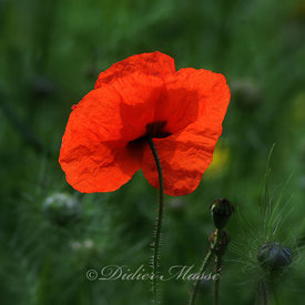 Coquelicot 2 Ennery Val d'Oise 05/14