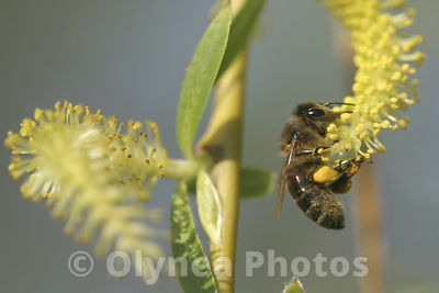 European Honeybee Apis Mellifora