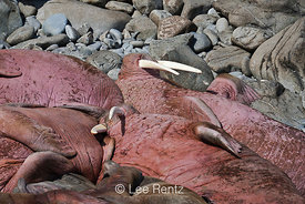Pacific Walrus males resting on Round Island rocky beach