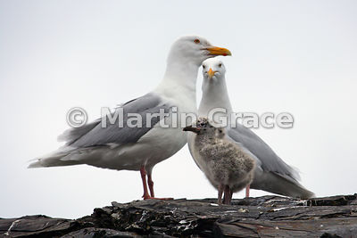 Pair of Glaucous Gulls (Larus hyperboreus) with two chicks, cliffs by July 14 Glacier, Svalbard