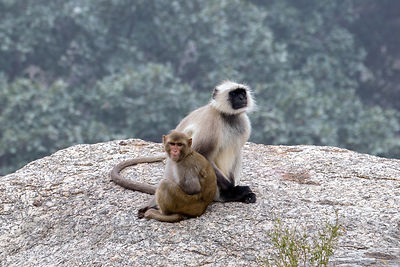 In an unusual scenario a juvenile red macaque monkey (probably orhpaned) is adopted by a troop of langur monkeys, Ajaypal, Ra...