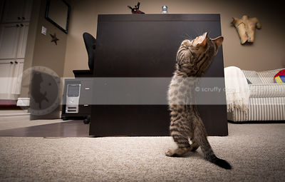 small cute brown tabby kitten from behind standing on two legs begging