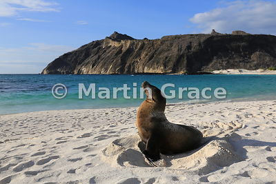 Galapagos Sea Lion (Zalophus californianus wollebacki or wollebaeki) sitting in the depression it has made for itself on the ...