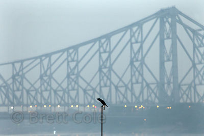 A crow caws on a perch in front of iconic Howrah Bridge, Kolkata, India.