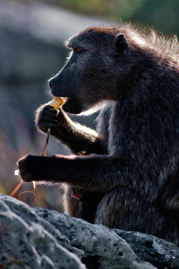 A chacma baboon from the De Gama Park troop eats a plant (sp.), in the Slangkop area of Table Mtn. National Park, Cape Penins...