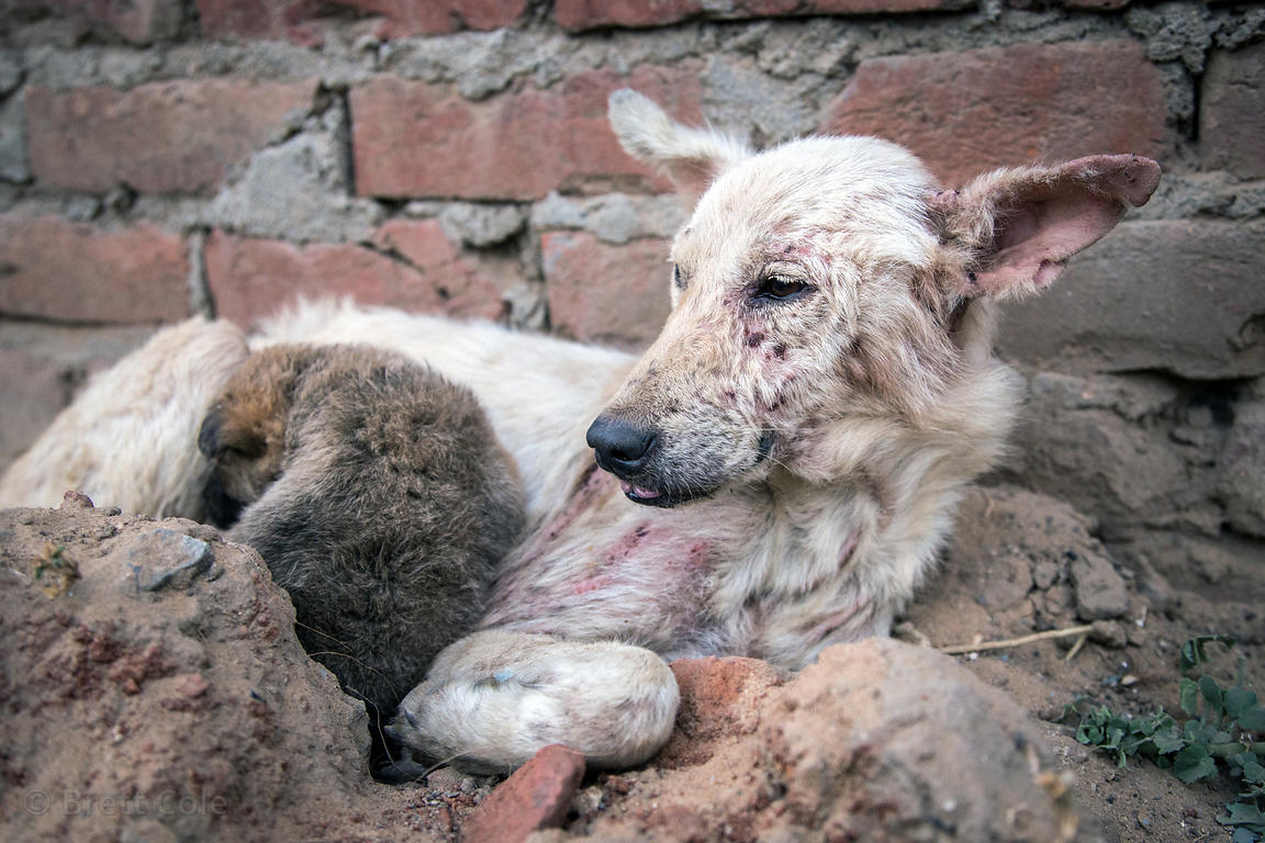 A street dog with severe mange eats milk and biscuits provided by tourists, Pushkar, Rajasthan, India. The dog was later save...