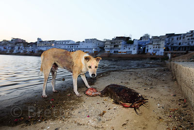 In an extraordinary image, a street dog eats a large catfish from sacred Pushkar Lake, Pushkar, Rajasthan, India