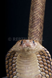 Naja haje, Egyptian cobra, Egypt