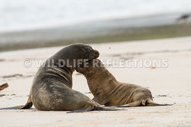 galapagos_sea_lion_santa_fe_mom_and_pup-9