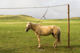 Local family's horse in Gun-Galuut Nature Reserve, 130 km (81 mi) south-east of Ulaanbaatar, Mongolia.
