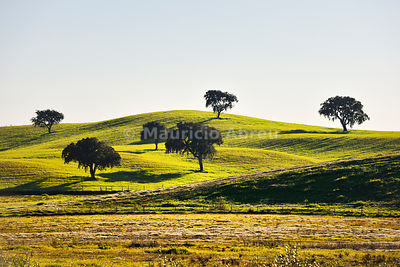 Cork trees in the vast plains of Alentejo. Portugal