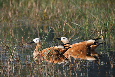 Ruddy Shelducks (Tadorna ferruginea), Keoladeo National Park, Bharatpur, India