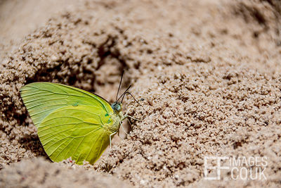 Tree Green Butterfly