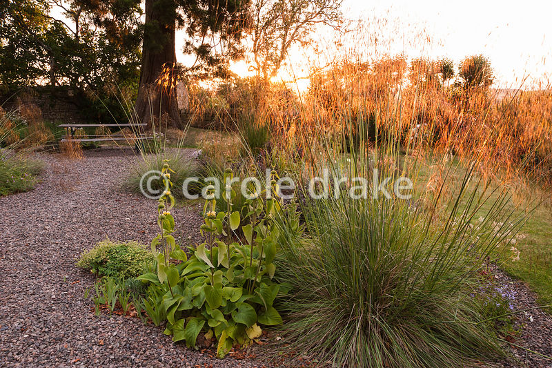 Gravel garden with Stipa gigantea catching the early morning sun, with Stacys byzantina, foxgloves antirrhinums, evening prim...