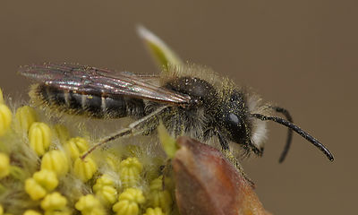 Andrena nycthemera male at Durmplassen, Merendree (2013/04/08)