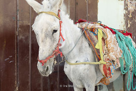 A white mule in the medina Fes, Morocco.