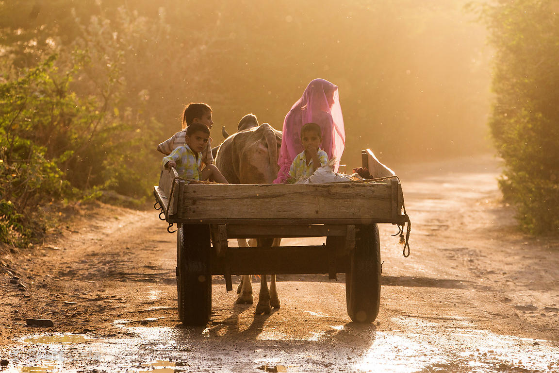 Mom and her boys, including identical twins, ride down a country lane pulled by a cow, in remote Maseena village, Rajasthan, ...