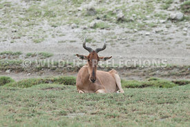 hartebeest_male_resting_12