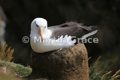 Adult Black-Browed Albatross (Thalassarche melanophrys) sitting on the nest, The Rookery, Saunders Island