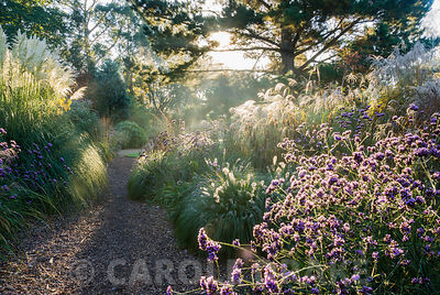 Early mornng sun illuminates grasses including miscanthus and Cortaderia 'Sunningdale Silver', and perennials such as Verbena bonariensis. Knoll Gardens, nr Wimborne, Dorset, UK
