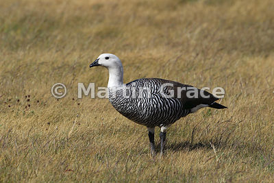 Upland Goose male (Chloephaga picta), Torres del Paine National Park, Patagonia, Chile