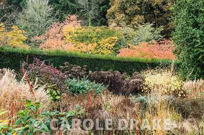 The Hot Garden at RHS Rosemoor with autumn tints of ornamental cherries adding to the scene beyond a yew hedge echoing the or...